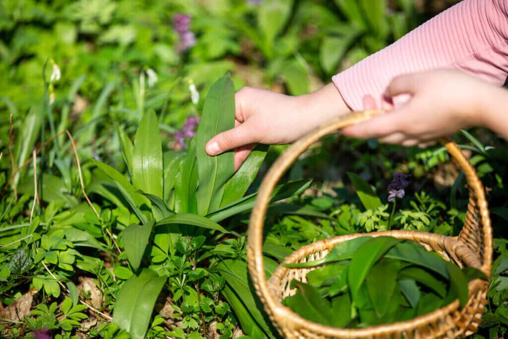 woman harvesting leaves fresh bear garlic forest herbalism herb cooking food concept